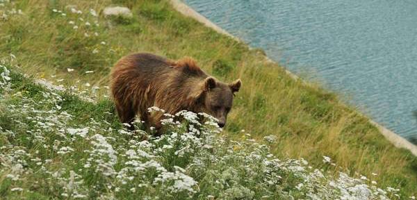 الدب في برن